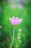A Purple cosmos flower. In the garden Stock Images