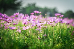 Purple cosmos flower in the garden1 Stock Image