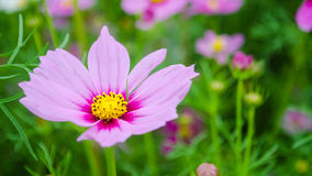 Purple Cosmos Stock Photography