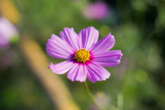 Purple cosmos flower. Purple cosmos in the gardens Royalty Free Stock Photos