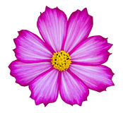 Purple cosmos flower isolated on white Royalty Free Stock Images