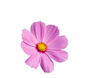 Purple cosmos flower isolated on white, clipping path included Royalty Free Stock Photography