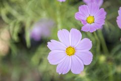 Purple Cosmos flower over blurred green garden background. Spring season concept, nature background Stock Image