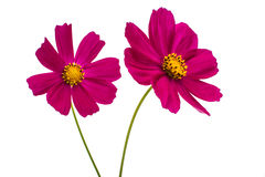 Purple cosmos flower Royalty Free Stock Images