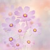 Purple Cosmos Flowers Royalty Free Stock Photos