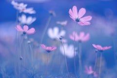 Purple cosmos flowers on dark blue background. Art summer soft image. Selective focus.