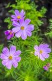 Purple cosmos flowers. In the garden Stock Photos