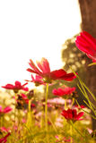 Purple Cosmos flowers. In the morning Royalty Free Stock Photography