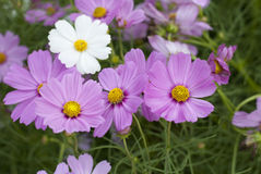 Purple Cosmos flowers. Cosmos is native to scrub and meadowland in Mexico where most of the species occur, as well as the United States Stock Photo