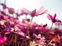 Purple cosmos flowers with sunshine-vintage style Stock Photos