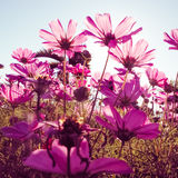 Purple cosmos flowers with sunshine-vintage style Royalty Free Stock Photography