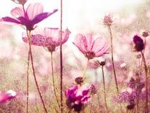 Purple cosmos flowers with sunshine-vintage style. Purple cosmos flowers -vintage style stock photos