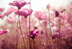 Purple cosmos flowers with sunshine - vintage style Stock Photography