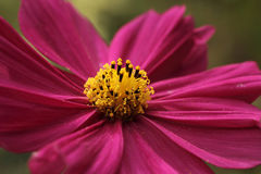 Purple cosmos Royalty Free Stock Images