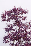 Purple Cotinus shrub Stock Image