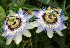 The passionflower. The purple Couple of passionflower royalty free stock photos