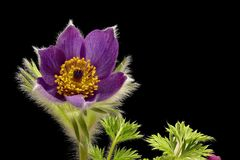 Purple cowbell or kitchen bell - Pulsatilla - with black background. Isolated - focus stacking stock image