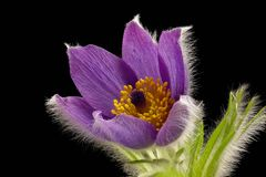 Purple cowbell - Pulsatilla - on black background. Strong colors - atmospheric royalty free stock photo