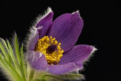 Purple cowbell - Pulsatilla - on black background. Strong colors - atmospheric royalty free stock photos