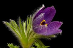 Purple cowbell - Pulsatilla - on black background. Strong colors - atmospheric stock image