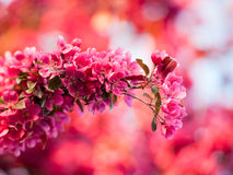 Purple crab apple blossom Royalty Free Stock Image