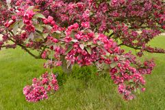 Purple crab apple tree in bloom royalty free stock photography