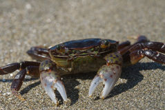 Purple crab on sandy shore Royalty Free Stock Photos