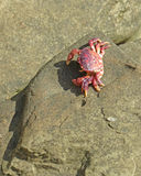 Purple Crab Royalty Free Stock Photography