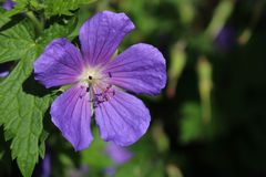 Purple cranesbill Royalty Free Stock Photography