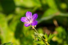 Purple cranesbill flower Geranium sanguineum stock images