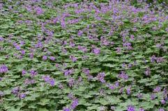 Purple cranesbill - geranium rosemoor royalty free stock image