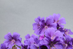 Purple cranesbill Royalty Free Stock Images