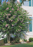 Purple Crape Myrtle Tree Stock Photo