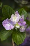 Purple and cream Hydrangea flowers Stock Photo