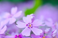 Purple creepeing phlox subulata flowers. Natural background stock images