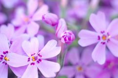 Purple creepeing phlox subulata flowers. Natural background stock photo