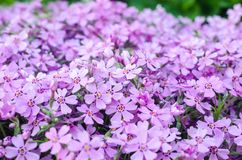 Purple creepeing phlox subulata flowers. Natural background royalty free stock photos