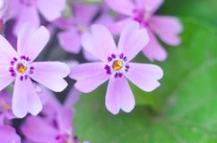 Purple creepeing phlox subulata flowers. Natural background stock photos