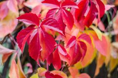 Purple creeper leaves closeup. Background of Autumn. royalty free stock photography