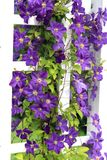 Purple creepers. Purple Clematis flowers in the summer garden royalty free stock images