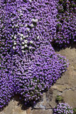 Purple Creeping Wall Flower royalty free stock photography