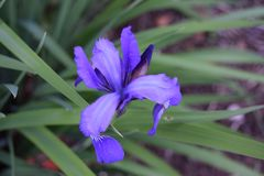 Purple Crested Iris amongst green leaves. In the garden stock photo