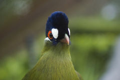 Purple Crested Loerie Stock Images