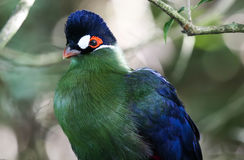 Purple Crested Turaco Portrait Stock Images