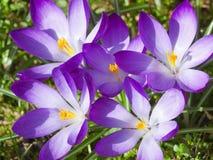 Free Purple Crocus Stock Photo - 13590800
