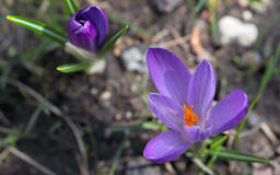 Purple crocus. Crocus blooming in the garden, closeup Stock Photos