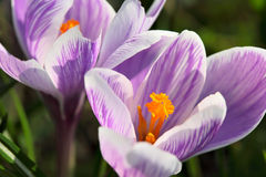 Purple crocus. Crocus blooming in the garden, closeup Royalty Free Stock Image