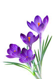 Purple Crocus Royalty Free Stock Image
