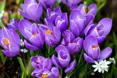 Purple crocus. Flowers Stock Photos