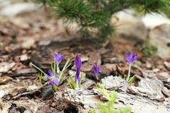 Purple Crocus on the Alpine hill. Among mulch royalty free stock photos